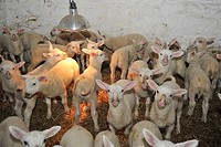 Domestic Sheep, Friesland lambs, flock under heat lamp in shed, Chipping, Lancashire, England