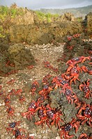Christmas Island Red Crab Gecarcoidea natalis adults, mass on rocks during annual migration, Christmas Island, Australia