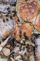Giant Coconut Crab Birgus latro dead, crushed on road, covered with flies, Christmas Island, Australia