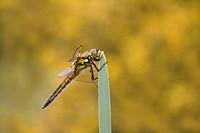 Four_spotted Chaser Libellula quadrimaculata adult, resting on leaf, Leicestershire, England
