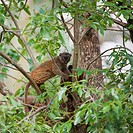 White-fronted Brown Lemur also known as White-headed Lemur or White-fronted lemur Eulemur albifrons female, Madagascar Lémur à front blanc Eulemur alb...