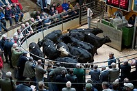 Livestock market, selling bullocks in ring, Lancaster Auction Mart, Lancashire, England
