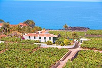 Spain _ Canary Islands _ Tenerife _ Isla Baja Region _ Garachico _ Banana plantation