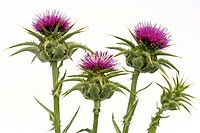 Milk thistle, (Sylibum marianum)