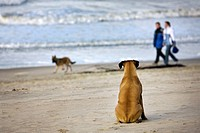 Boxer Canis lupus familiaris sitting in the sand watching other dog and people passing by on the beach