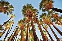 Palm trees in Palm Canyon  Palm Springs, California, USA