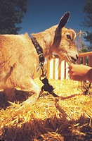 Hand Feeding Goat in Barn Pen