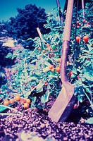 Tomatoes on the Vine in Garden (thumbnail)
