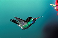 Broad_Billed Hummingbird