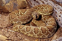 Mojave Rattlesnake