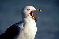 Ring_Billed Gull Squawking