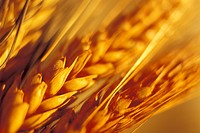 Close_up of wheat grain