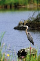Great Blue Heron, Reifel Bird Sanctuary, Westham Island, British Columbia, Canada