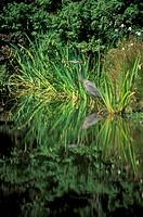 Blue Heron, Van Dusen Gardens, Vancouver, British Columbia, Canada