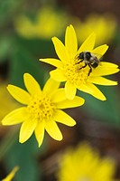 Bee on Golden Aster