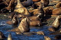 California Sea Lions off Victoria, British Columbia, Canada
