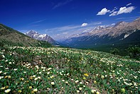 Alpine Flora in Banff National Park, Alberta, Canada