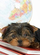 Sleepy Yorkie Resting On Geography Textbooks