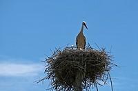 High nest