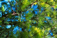 Low angle view of the branches of a coniferous tree (thumbnail)