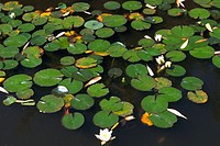High angle view of a lotus growing on the surface of water