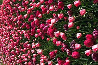 Close-up of a meadow of tulips (thumbnail)