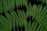 Close_up of the leaves of a fern