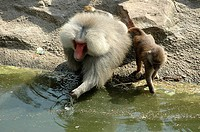 Baboon drinking water with its young one