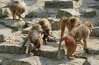 Group of baboons on rocks