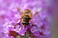 Close_up of a honeybee pollinating a flower