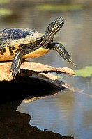 Close-up of turtle basking on log - pond slider