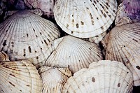 Background of scallop shells