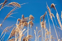 reeds in a windy summer blue day