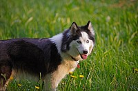 The Siberian Husky is a medium-size, dense-coat working dog breed that originated in eastern Siberia  The breed belongs to the Spitz genetic family  I...
