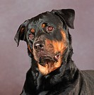 Rottweiller: type of breed