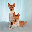 Two Basenji, red coated, full length, on blue tulle fabric