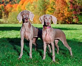 Weimaraner: breed of dog