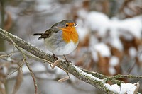 European Robin, Erithacus rubecula, perched on branch in garden, in winter, Germany