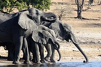 A group of elephants drinking water on the bank of Chobe River in Chobe National Park, Botswana