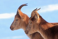 Couple of Spanish Ibex (Capra pyrenaica)