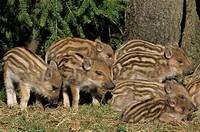 Wild Boar _ piglets , Sus scrofa