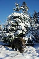 Wild Boar _ tusker , Sus scrofa