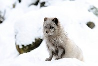 Artic fox Alopex lagopus in the snow, Bavaria, Germany