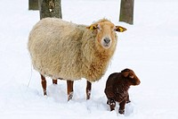 Sheep Ovis aries and lamb in the snow