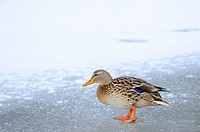 Mallard duck Anas platyrhynchos on the ice, Bavaria, Germany, side view