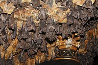 Group of bats, Pura Goa Lawah Temple, Bali