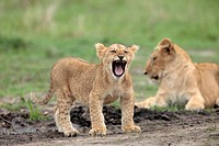 Lioness Panthera leo with cub, Masai Mara National Reserve, Kenya