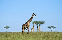Three giraffes Giraffa camelopardalis on the savanna, Kenya