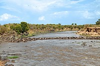 Herd of Blue Wildebeests Connochaetes taurinus crossing river, Masai Mara National Reserve, Kenya