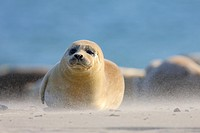 Harbour seal Phoca vitulina on the beach of Helgoland, Germany